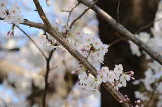 桜2012 DSC_0006.jpg